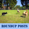 Roundup Posts text - sheep dog, sheep